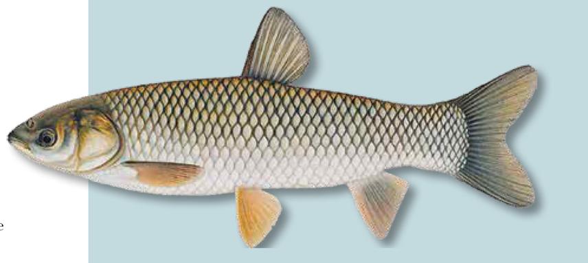 Invasive Grass Carp Threatens Georgian Bay